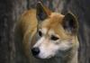 Dingoes Daniel Hunter extinction