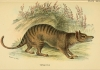 19_tassie_tiger_flickr_biodiversity_heritage_library.jpg