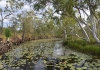 A bend in Northern Territory's Surprise Creek which is covered in lily pads