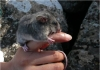 A Mountain Pygmy-possum clings to a person's finger