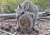 A bridled nailtail wallaby in the wild