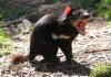 800px-sarcophilus_harrisii_-cleland_wildlife_park-8a.jpg