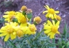 Oxford ragwort 1