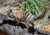 a numbat stands on a log
