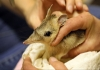 Close-up of a bandicoot being held