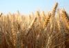 Barley in a field