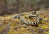 Broad-headed snake