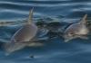 bunbury_dolphins_surfacingb.jpg