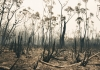 Burnt bushland in Iluka NSW