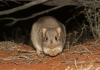 burrowing_bettong_thomas_j_hunt.jpg