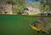 A carp in the Murray-Darling