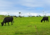 cows_grazing_with_a_windfarm_in_the_background.jpg