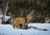 dingoes_in_the_snow_photo_by_michelle_j_photography.jpg