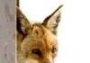 Fox web