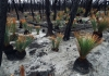 Regrowth after bushfires