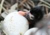 Ibis chick