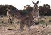 kangaroos in a paddock
