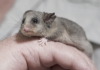 mountain_pygmy_possum.jpg
