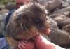 Pygmy2 1