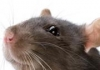 Rat inside