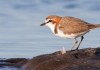 Red capped plover 1