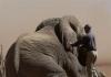 Rsz elephant   keith collaring 2007