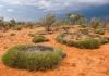 Spinifex grass