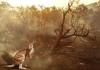 bushfire kangaroo