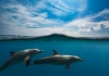 Wild dolphins swim in the sea