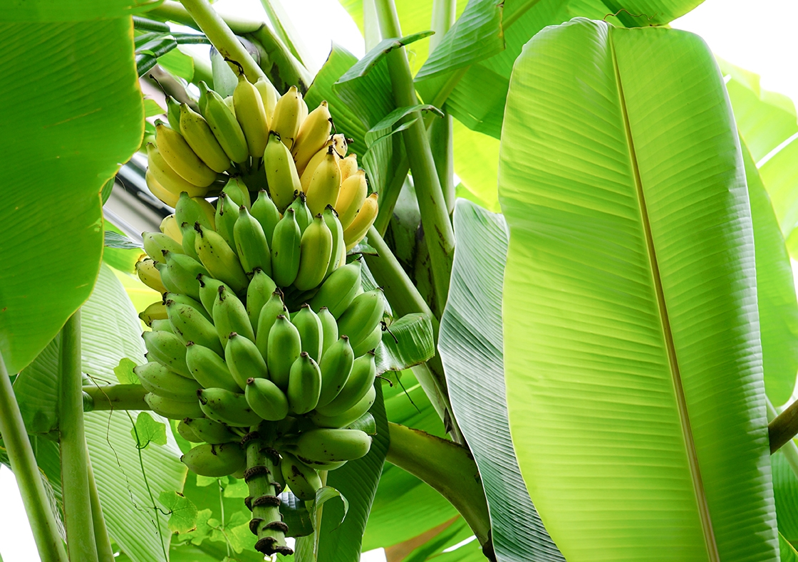 Packaging Made From Banana Plants An A Peeling Alternative
