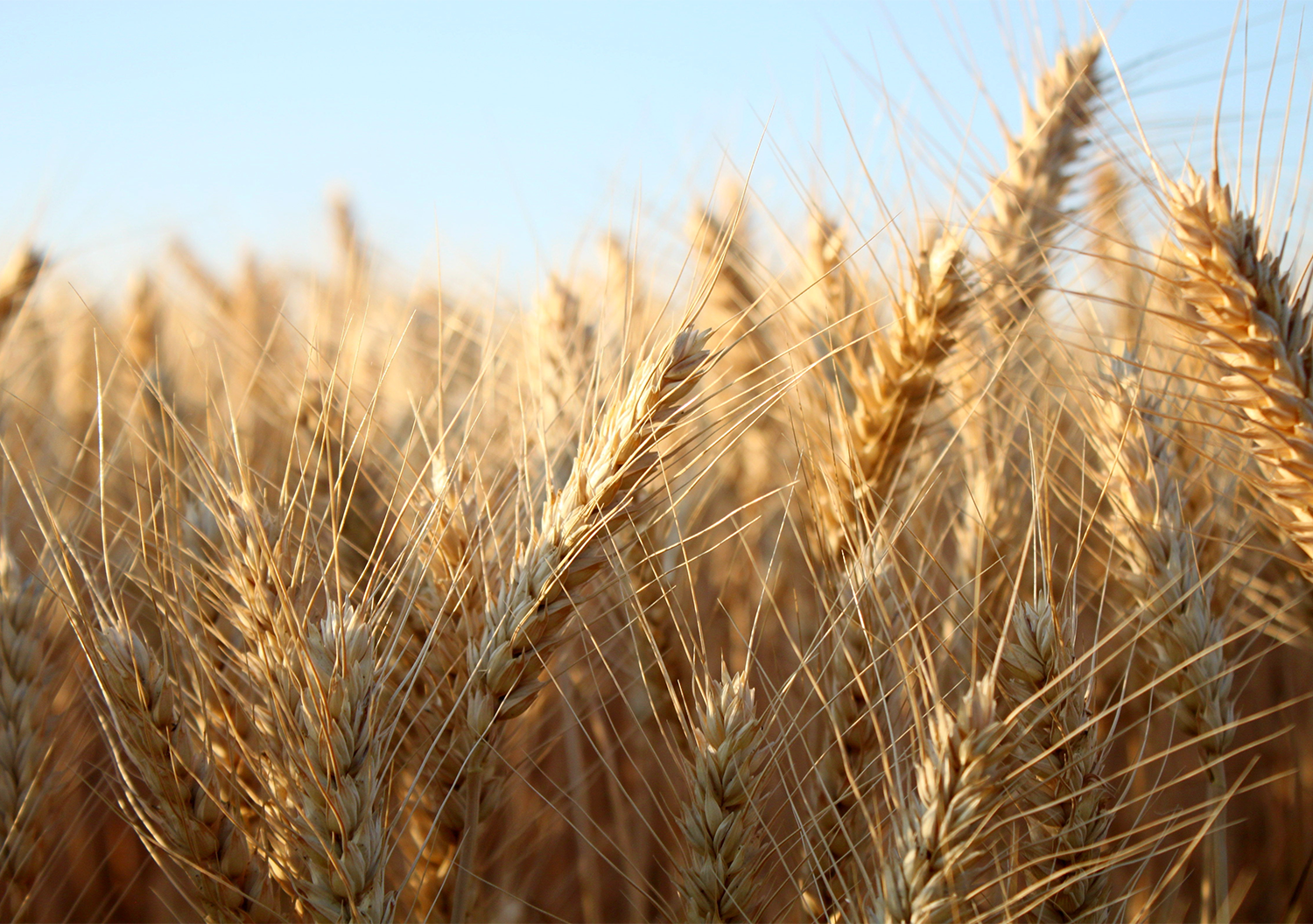 The barley tariff marks the first time China has applied such duties against Australia since the establishment of its trade remedy regime in 1997. Image: Shutterstock.
